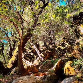 Bay laurel and boulders on the ridge trail, #castlerockstatepark #CAstateparks #santacruzmountains #californianatives #hikesafely #portolaandcastlerockfoundation