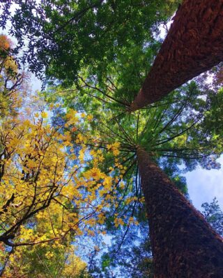 Pic from @blackisthesoul.13 @castlerock_sp #lookup #BigLeafMaple #DouglasFir #californiafallcolors #california #californiafall #californianatives #castateparks #santacruzmountains #hikeSafely #portolaandcastlerockfoundation