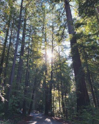 Pic from @josiah.reutter @portolaredwoods_sp #redwoods #redwoodforest #CAstateparks #santacruzmountains #hikeSafely #bayareahikes #bayareahiking #portolaandcastlerockfoundation #portolaredwoods