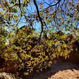 #GoatRock seen through a veil of #BigLeafMaple leaves, #castlerockstatepark #californiafallcolors #castateparks #santacruzmountains #californianatives #portolaandcastlerockfoundation