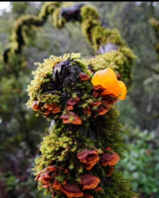 Pic from @kalenglenn witches butter and bracket fungus, with moss @castlerock_sp #castateparks #castlerockstatepark #santacruzmountains #fungusamongus #decomposers #cycleoflife #california #goldenstate #getoutside #hikesafely #naturephotography #nature #portolaandcastlerockfoundation