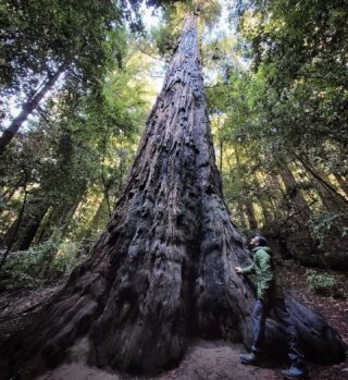 Pic from @akkiiangolkar The Old Tree @portola_rsp #CAstateparks #santacruzmountains #redwoodforest #redwoods #oldgrowthforest #oldgrowth #oldgrowthredwood #talltrees #hikeSafely #hiking #california #californianatives #portolaandcastlerockfoundation
